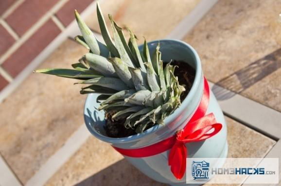 pineapple-plant-starter